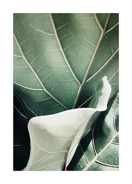 – Photograph with close up of a fiddle-leaf fig leaf in green