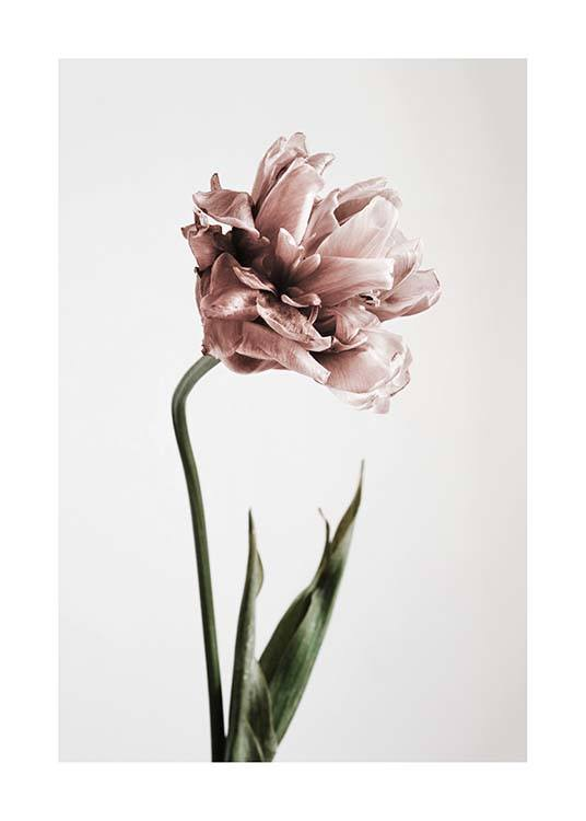 Pink Tulipe No1 Poster / Photographs at Desenio AB (2119)