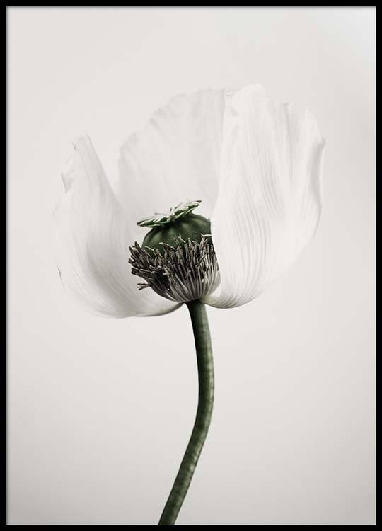White poppy flower poster mightylinksfo