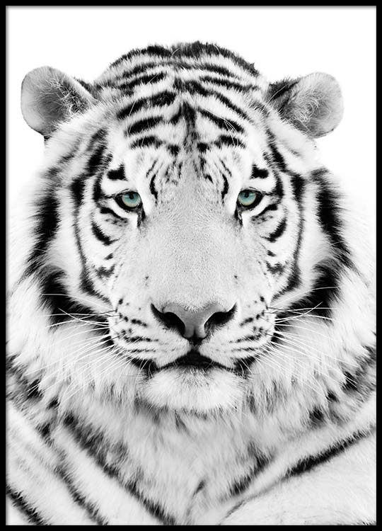 white tiger poster. Black Bedroom Furniture Sets. Home Design Ideas