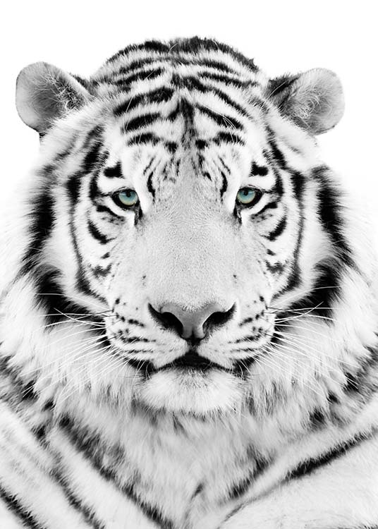 - Black and white animal poster showing a tiger with blue eyes in portrait