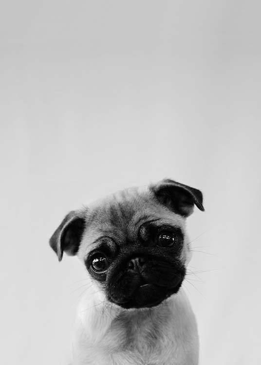 - Black and white portrait of a pug.