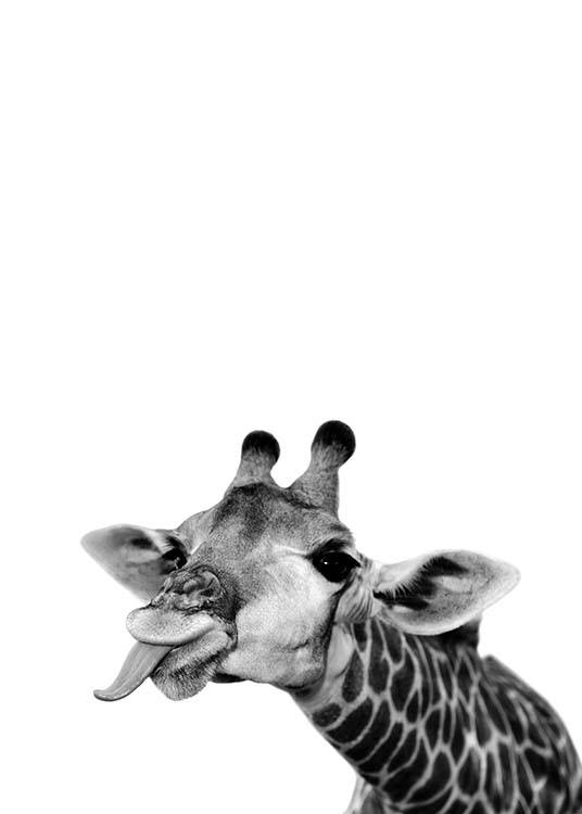 – Photograph in black and white of a goofy giraffe sticking its tongue out