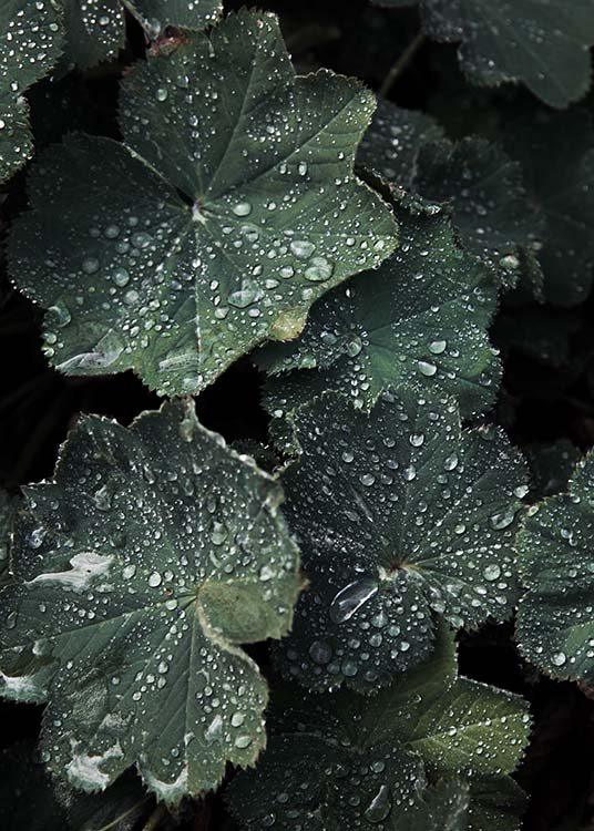 Lady's Mantle Poster / Photographs at Desenio AB (2832)