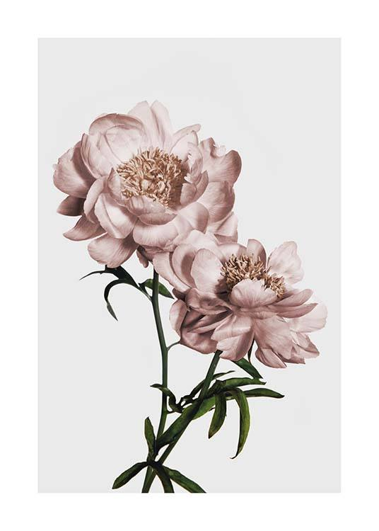 Peony No2 Poster / Photographs at Desenio AB (3506)