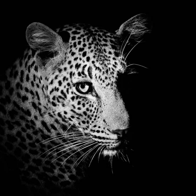 Leopard Close Up Poster / Black & white at Desenio AB (3857)