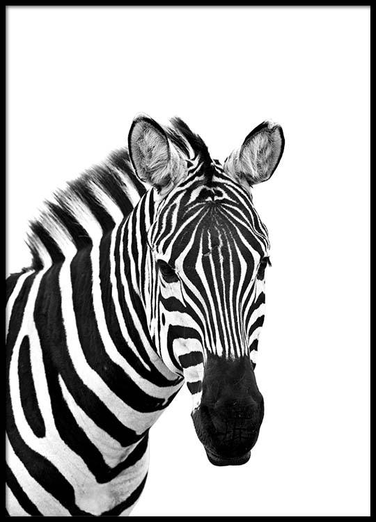 zebra from side poster