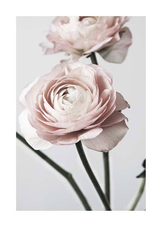 Pink Ranunculus One Poster / Photographs at Desenio AB (3923)