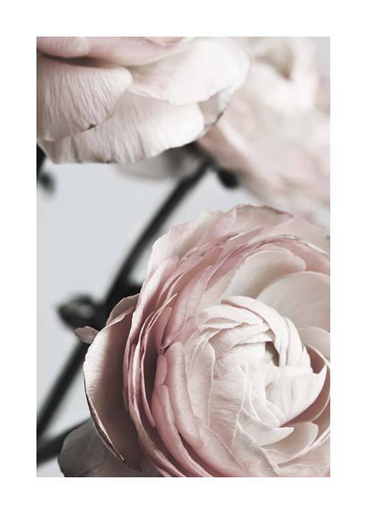 Pink Ranunculus Two Poster / Photographs at Desenio AB (3924)