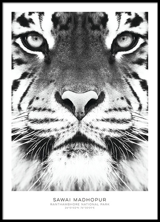 Black and white prints with photo art and tiger stylish prints online posters