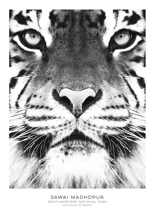 Tiger, Posters / Black & white at Desenio AB (7950)