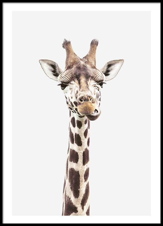photographic print of a giraffe animal poster buy. Black Bedroom Furniture Sets. Home Design Ideas