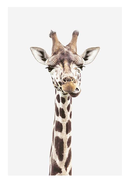Photographic Print Of A Giraffe Animal Poster Buy